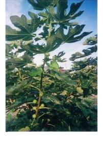 イチジク(クワ科の落葉木) 茎や葉を切ると乳状の汁を出す。果実は食用、葉は薬用。世界的にも最も古い果樹の一つである。