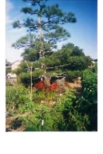 彼岸花(曼殊沙華) 多年草で秋の彼岸ごろ咲く。花は6片で外側に反る。有毒植物だが、茎は薬用になる