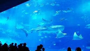 美ら海水族館。ジンベイザメです。癒やされます。<br /> <br /> <br /> <br /> <br /> <br /> 沖縄でしかできない貴重な体験でした。ありがとうございました。