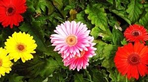 ガーベラ<br />   花言葉「希望」「常に前進」