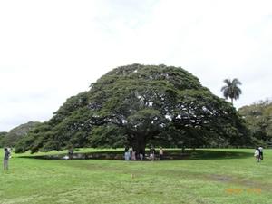 モアナルア・ガーデン「日立の樹」