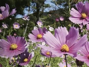 《コスモス》<br /> 花言葉は<br /> 「愛や人生がもたらす喜び」