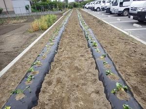松川電氣駐車場畑の「べにはるか」